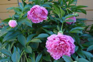 Raspberry Pink Peonies - June 2016 - 1