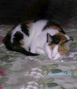 Scheherazade Cat Asleep on Our Bed in Kuwait - Stephanie C. Fox Photograph - QueenBeeEdit Watermark