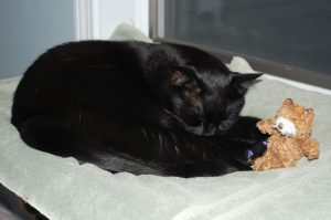 Phantom sleeping with his Teddy Bear catnip toy in the cat perch. See his purple claw-caps? (Photograph by Stephanie C. Fox)