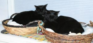 Cherie and Phantom in their baskets on the kitchen windowsill. (Photograph by Stephanie C. Fox)