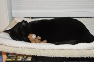 Cherie enjoying a turn for a nap on the cat perch, snuggled up to the Teddy Bear. (Photograph by Stephanie C. Fox)
