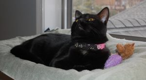 Ms. Chief Cherie looking very chic in her new collar. (Photograph by Stephanie C. Fox)