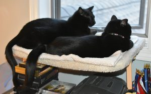 Phantom and Cherie at dawn, enjoying the cat perch together, watching birds. (Photograph by Stephanie C. Fox)